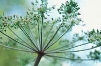 植物(ウイキョウ) 20026003434| 写真素材・ストックフォト・画像・イラスト素材|アマナイメージズ