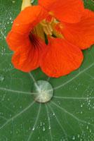 植物(キンレンカ) 20026003462| 写真素材・ストックフォト・画像・イラスト素材|アマナイメージズ