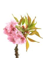 桜(ピンク・パーフェクション)