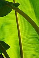 バナナの葉 20026003526  写真素材・ストックフォト・画像・イラスト素材 アマナイメージズ