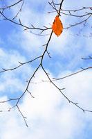 ブナの木の枝