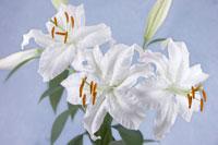 ユリ 20026003552| 写真素材・ストックフォト・画像・イラスト素材|アマナイメージズ