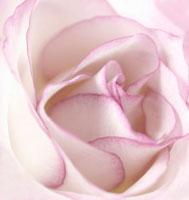 バラのアップ