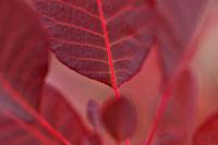植物(ハグマノキ・白熊の木・ロイヤルパープル)