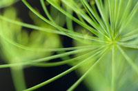 植物(ウイキョウ) 20026003620| 写真素材・ストックフォト・画像・イラスト素材|アマナイメージズ