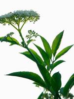 植物(セイヨウニワトコ)