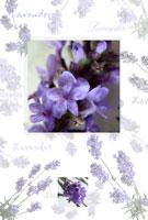 ラベンダーのイメージ 20026003661| 写真素材・ストックフォト・画像・イラスト素材|アマナイメージズ