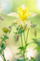 花(オダマキ) 20026003681| 写真素材・ストックフォト・画像・イラスト素材|アマナイメージズ