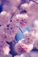 桜 20026003693| 写真素材・ストックフォト・画像・イラスト素材|アマナイメージズ