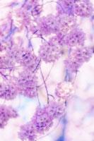 桜 20026003695| 写真素材・ストックフォト・画像・イラスト素材|アマナイメージズ
