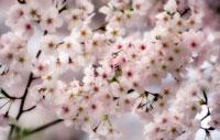 桜 20026003696| 写真素材・ストックフォト・画像・イラスト素材|アマナイメージズ