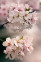桜 20026003697| 写真素材・ストックフォト・画像・イラスト素材|アマナイメージズ