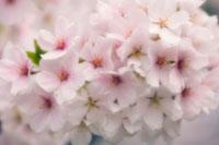 桜 20026003698| 写真素材・ストックフォト・画像・イラスト素材|アマナイメージズ