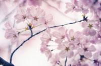 桜 20026003699| 写真素材・ストックフォト・画像・イラスト素材|アマナイメージズ