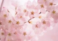 桜 20026003700| 写真素材・ストックフォト・画像・イラスト素材|アマナイメージズ