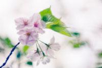 桜 20026003701| 写真素材・ストックフォト・画像・イラスト素材|アマナイメージズ