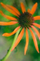 植物(ムラサキバレンギク・紫馬簾菊)