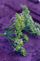 植物(ウイキョウ) 20026003923| 写真素材・ストックフォト・画像・イラスト素材|アマナイメージズ