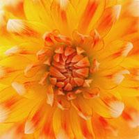 ダリア 20026004011| 写真素材・ストックフォト・画像・イラスト素材|アマナイメージズ