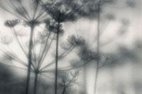 ディル 20026004112| 写真素材・ストックフォト・画像・イラスト素材|アマナイメージズ