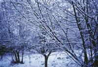 雪が積もったハシバミ