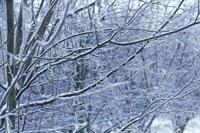 霜がついたヤドリギ