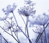 雪を被ったフェンネル 20026004172| 写真素材・ストックフォト・画像・イラスト素材|アマナイメージズ