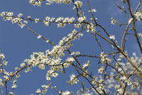 Blackthorn / Sloe
