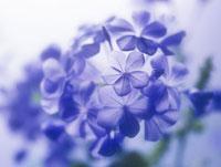 花(ルリマツリ)