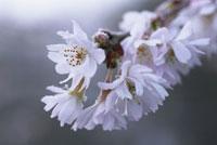 冬桜 20026004333  写真素材・ストックフォト・画像・イラスト素材 アマナイメージズ