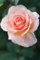 バラ 20026004506| 写真素材・ストックフォト・画像・イラスト素材|アマナイメージズ