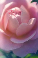 バラ 20026004509| 写真素材・ストックフォト・画像・イラスト素材|アマナイメージズ