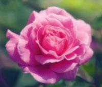 バラ 20026004510| 写真素材・ストックフォト・画像・イラスト素材|アマナイメージズ