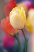 チューリップ 20026004524| 写真素材・ストックフォト・画像・イラスト素材|アマナイメージズ