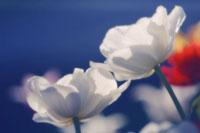 チューリップ 20026004526| 写真素材・ストックフォト・画像・イラスト素材|アマナイメージズ