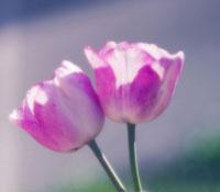 チューリップ 20026004530| 写真素材・ストックフォト・画像・イラスト素材|アマナイメージズ