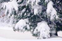ヒノキ 20026004550  写真素材・ストックフォト・画像・イラスト素材 アマナイメージズ