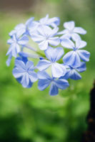 花(ルリマツリモドキ)