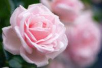 バラ 20026004656| 写真素材・ストックフォト・画像・イラスト素材|アマナイメージズ