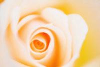 バラ 20026004659| 写真素材・ストックフォト・画像・イラスト素材|アマナイメージズ