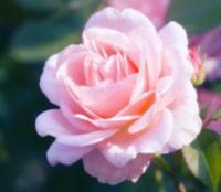 バラ 20026004661| 写真素材・ストックフォト・画像・イラスト素材|アマナイメージズ