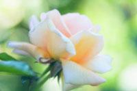 バラ 20026004667| 写真素材・ストックフォト・画像・イラスト素材|アマナイメージズ