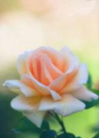 バラ 20026004668| 写真素材・ストックフォト・画像・イラスト素材|アマナイメージズ