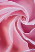 バラ 20026004672  写真素材・ストックフォト・画像・イラスト素材 アマナイメージズ