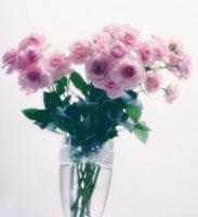 バラ 20026004677| 写真素材・ストックフォト・画像・イラスト素材|アマナイメージズ
