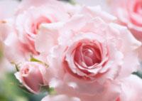バラ 20026004679| 写真素材・ストックフォト・画像・イラスト素材|アマナイメージズ