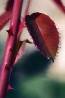 バラ 20026004681  写真素材・ストックフォト・画像・イラスト素材 アマナイメージズ