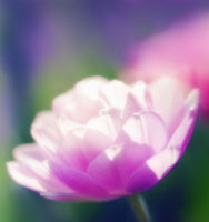 チューリップ 20026004699| 写真素材・ストックフォト・画像・イラスト素材|アマナイメージズ