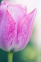 チューリップ 20026004706| 写真素材・ストックフォト・画像・イラスト素材|アマナイメージズ