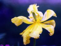 チューリップ 20026004710| 写真素材・ストックフォト・画像・イラスト素材|アマナイメージズ